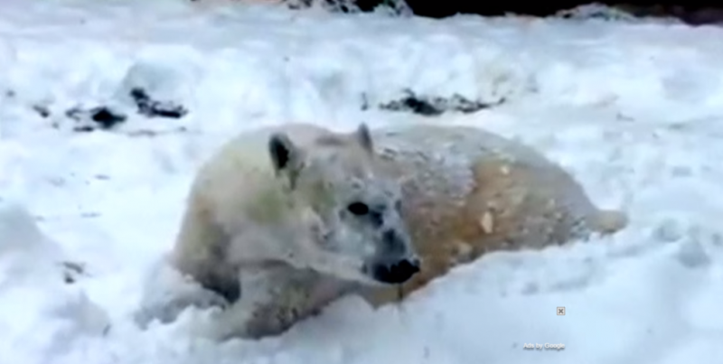 Polar bear having a great time