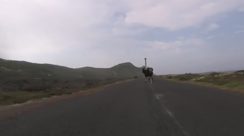 The funniest ostrich you'll ever see!