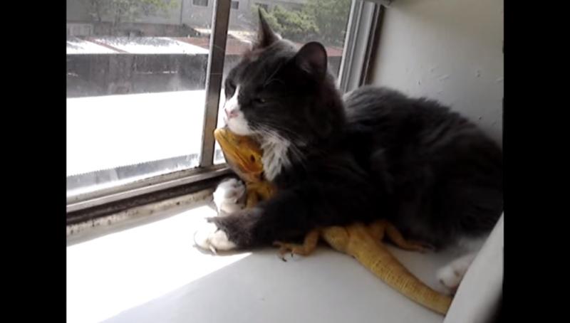 Cat loves bearded dragon